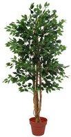 Ficus mit offener dichter Krone 180cm