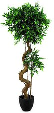 Ficusbaum mit Bonsaistamm 170cm