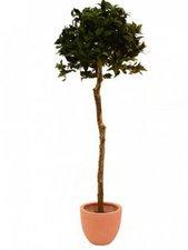 Lorbeerkugelbaum 150cm