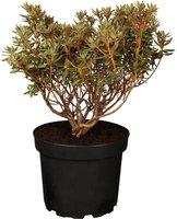 Zwerg-Rhododendron Ramapo