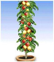 Säulen-Apfel