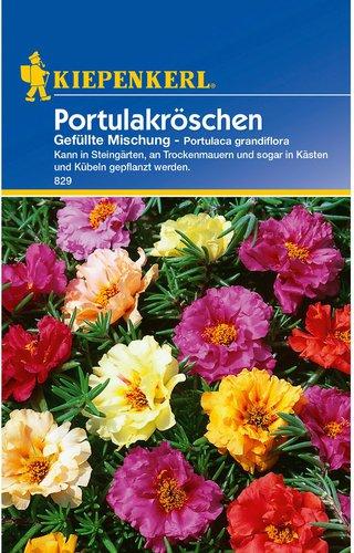 Portulak-Röschen