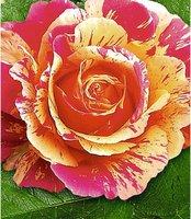 Malerrose Claude Monet